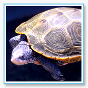 Diamondback Terrapin
